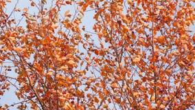 Δέντρο φθινοπώρου με τα κόκκινα φύλλα και τα μικρά φρούτα απόθεμα βίντεο