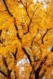 δέντρο φθινοπώρου με τα φωτεινά κίτρινα φύλλα Στοκ εικόνα με δικαίωμα ελεύθερης χρήσης