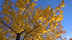 Δέντρο φθινοπώρου με τα χρυσά φύλλα στο μπλε ουρανό απόθεμα βίντεο