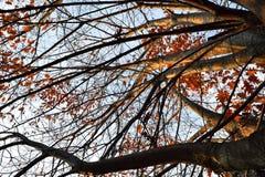 Δέντρο φθινοπώρου με τους νεκρούς κλάδους και τα φύλλα Στοκ Εικόνα