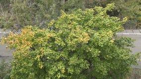 Δέντρο φθινοπώρου στην πόλη απόθεμα βίντεο