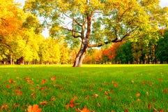 Δέντρο φθινοπώρου στο ηλιόλουστο πάρκο φθινοπώρου αναμμένο από το φως του ήλιου - δέντρο φθινοπώρου στην ηλιοφάνεια Στοκ Εικόνες
