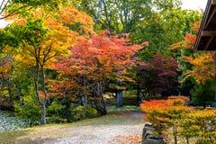 Δέντρο φθινοπώρου, δέντρο σφενδάμνου με τα ζωηρόχρωμα φύλλα φθινοπώρου, κόκκινα πορτοκαλιά κιτρινοπράσινα φύλλα σφενδάμου με την  Στοκ εικόνα με δικαίωμα ελεύθερης χρήσης
