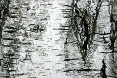 δέντρο φλοιών σημύδων Στοκ φωτογραφίες με δικαίωμα ελεύθερης χρήσης