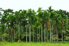 δέντρο φοινικών pinang Στοκ φωτογραφίες με δικαίωμα ελεύθερης χρήσης