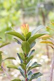 Δέντρο φραουλών (unedo Arbutus) Στοκ Εικόνες