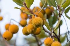 Δέντρο φραουλών (unedo Arbutus) Στοκ Φωτογραφία