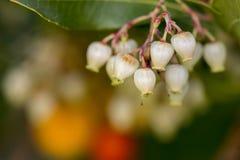 Δέντρο φραουλών (unedo Arbutus) Στοκ εικόνες με δικαίωμα ελεύθερης χρήσης