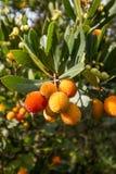 Δέντρο φραουλών, μήλο καλάμων (unedo Arbutus) Στοκ εικόνες με δικαίωμα ελεύθερης χρήσης