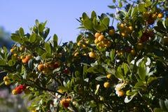 Δέντρο φραουλών (unedo Arbutus) Στοκ φωτογραφίες με δικαίωμα ελεύθερης χρήσης