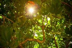 δέντρο φυλλώματος σύκων Στοκ φωτογραφίες με δικαίωμα ελεύθερης χρήσης