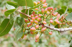 Δέντρο φυστικιών Στοκ Φωτογραφίες