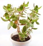 δέντρο φυτών χρημάτων crassula Στοκ εικόνα με δικαίωμα ελεύθερης χρήσης