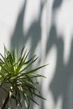 Δέντρο, φως, σκιά και σκιά από τον ήλιο στον άσπρο τοίχο Στοκ φωτογραφία με δικαίωμα ελεύθερης χρήσης