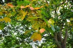 δέντρο φύλλων πτώσης ανασκόπησης φθινοπώρου Στοκ εικόνες με δικαίωμα ελεύθερης χρήσης