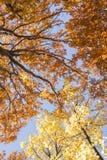 δέντρο φύλλων πτώσης ανασκόπησης φθινοπώρου Στοκ Φωτογραφίες