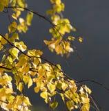 δέντρο φύλλων πτώσης ανασκόπησης φθινοπώρου Στοκ Φωτογραφία