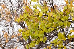 δέντρο φύλλων φθινοπώρου Στοκ Εικόνα