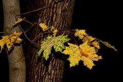 Δέντρο φύλλων σφενδάμου Στοκ εικόνες με δικαίωμα ελεύθερης χρήσης