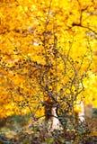 Δέντρο φύλλων φθινοπώρου πτώσης Στοκ εικόνα με δικαίωμα ελεύθερης χρήσης
