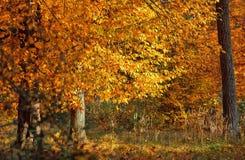 Δέντρο φύλλων φθινοπώρου πτώσης Στοκ Εικόνα