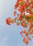 Δέντρο φλογών ή προστατευόμενο δέντρο Poinciana Στοκ φωτογραφία με δικαίωμα ελεύθερης χρήσης