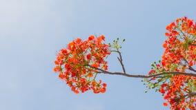 Δέντρο φλογών ή προστατευόμενο δέντρο Poinciana Στοκ Φωτογραφίες