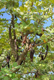 Δέντρο χαρουπιού στοκ εικόνα με δικαίωμα ελεύθερης χρήσης