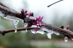 Δέντρο χειμερινών κόκκινο οφθαλμών του Τέξας στοκ εικόνες με δικαίωμα ελεύθερης χρήσης