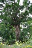Δέντρο χιλιετίας στην πρέσα Στοκ Εικόνες