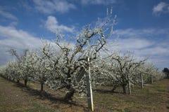 Δέντρο 2 βερικοκιών Στοκ φωτογραφίες με δικαίωμα ελεύθερης χρήσης