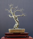 δέντρο 2 μπονσάι Στοκ εικόνες με δικαίωμα ελεύθερης χρήσης