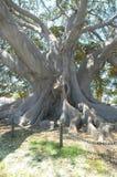 δέντρο 2 σύκων Στοκ Εικόνες