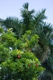 Δέντρο Akee (sapida Blighia) με το βασιλικό φοίνικα της Φλώριδας στο υπόβαθρο στοκ εικόνα