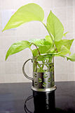 Δέντρο Araceae στο houseplant. Στοκ φωτογραφία με δικαίωμα ελεύθερης χρήσης