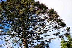 Δέντρο Araucana αροκαριών στον κήπο Στοκ Φωτογραφία