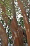 Δέντρο Arrayan στην Παταγωνία, Αργεντινή Στοκ Εικόνες
