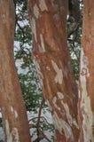 Δέντρο Arrayan στην Παταγωνία, Αργεντινή Στοκ Φωτογραφίες