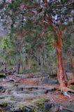 Δέντρο Arrayan στην Παταγωνία, Αργεντινή Στοκ εικόνες με δικαίωμα ελεύθερης χρήσης