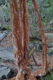 Δέντρο Arrayan στην Παταγωνία, Αργεντινή Στοκ Φωτογραφία