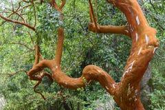 Δέντρο Arrayan στο εθνικό πάρκο Huerquehue, Χιλή Στοκ Φωτογραφία