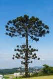 Δέντρο Auracaria στη Βραζιλία Στοκ Φωτογραφίες