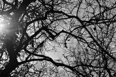 Δέντρο B&W Aok Στοκ φωτογραφία με δικαίωμα ελεύθερης χρήσης