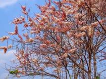 Δέντρο bakeriana της Cassia Στοκ φωτογραφία με δικαίωμα ελεύθερης χρήσης