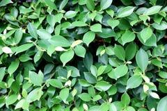 Δέντρο Banyan ή bengalensis ficus Στοκ εικόνα με δικαίωμα ελεύθερης χρήσης