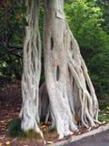 Δέντρο Banyan, βοτανικοί κήποι του Σίδνεϊ, Αυστραλία Στοκ φωτογραφία με δικαίωμα ελεύθερης χρήσης