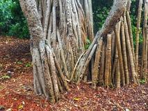 Δέντρο Banyan, βοτανικοί κήποι του Σίδνεϊ, Αυστραλία Στοκ Εικόνα