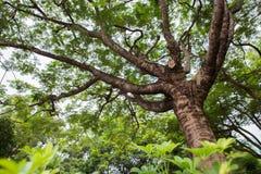 Δέντρο Banyan Στοκ Εικόνα
