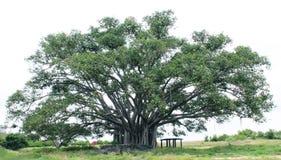 Δέντρο Banyan Στοκ Φωτογραφία