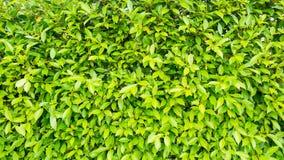 Δέντρο Banyan Στοκ εικόνα με δικαίωμα ελεύθερης χρήσης